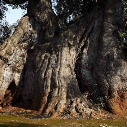Le Vie dell' Ulivo Salentino: dalle radici al turismo enogastronomico